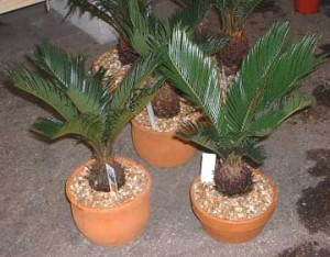 indoor_landscape_cycas_revoluta_strong_style_color_b82220_bonsai_strong_trees